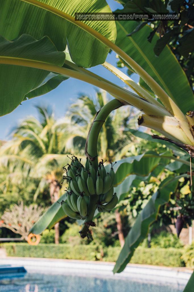 бананы на ветке
