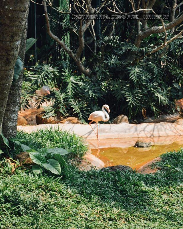розовый фламинго хайкоу