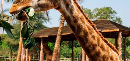зоопарк сафари хайкоу