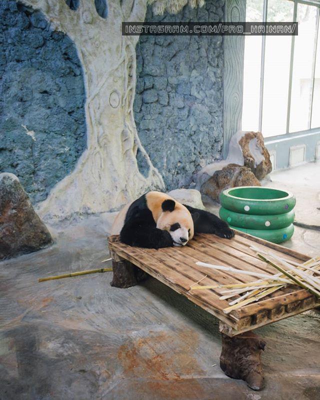 панда хайкоу